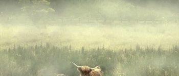 shetland-coo